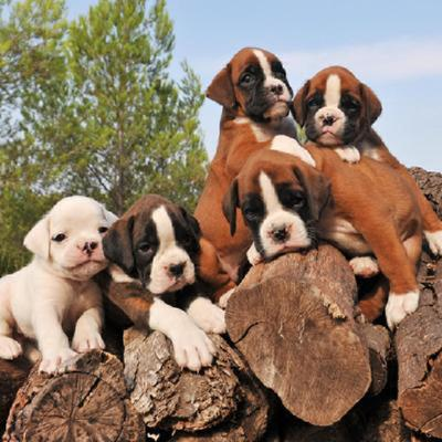 Boxer Puppies Animal Kingdom Arizona