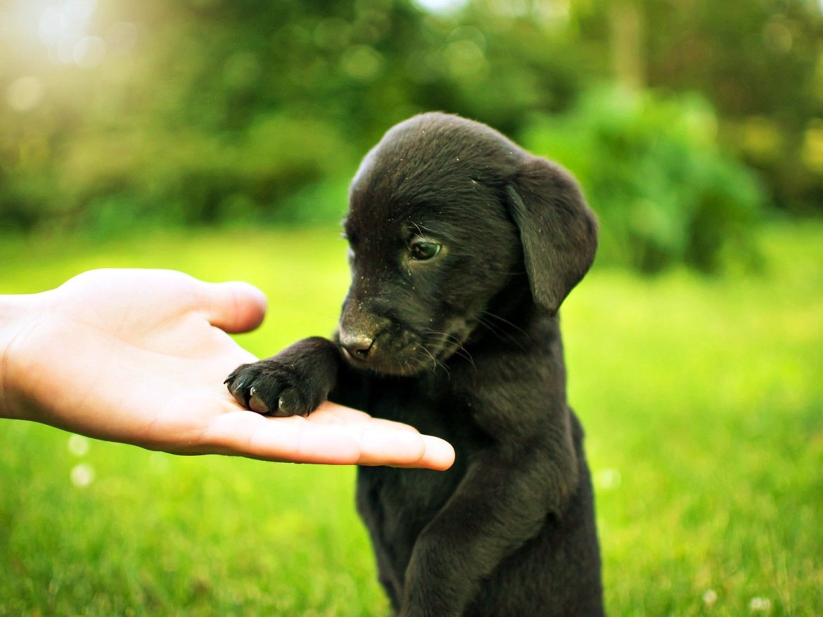 brown puppy with paw in human hand