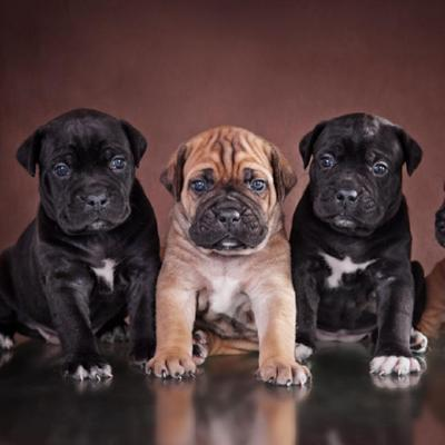 Cane Corso Puppies Animal Kingdom Arizona