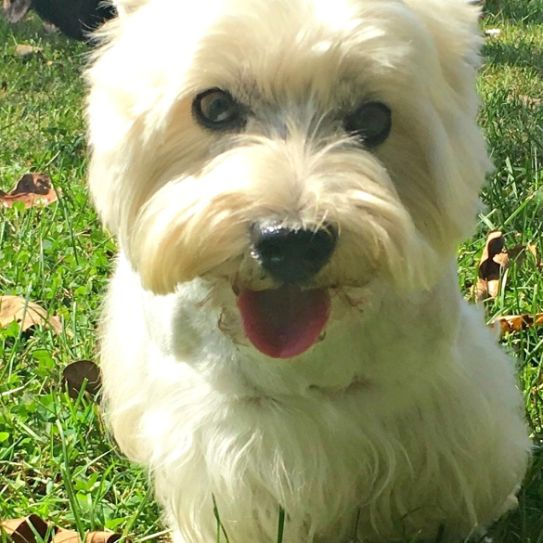 Carolyn's West Highland White Terriers (Westies)