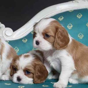 Cavalier King Charles Spaniel Puppies For Sale Animal Kingdom Arizona