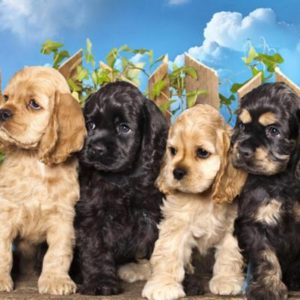 Cocker Spaniel Puppies For Sale Animal Kingdom Arizona