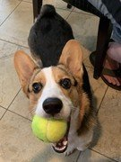 corgi puppy with tennis ball