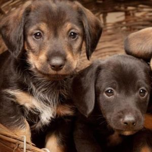 Dachshund Puppies Puppies For Sale Animal Kingdom Arizona
