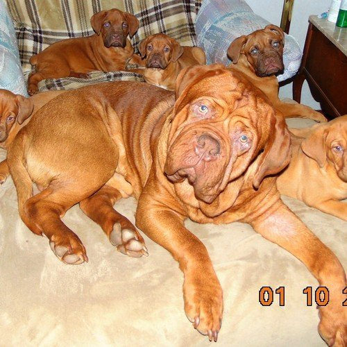 Dogues De Bordeaux Mommy and puppies