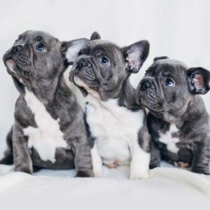 French Bulldog Puppies Puppies For Sale Animal Kingdom Arizona