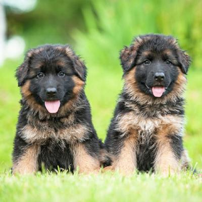 German Shepherd Puppies Animal Kingdom Arizona
