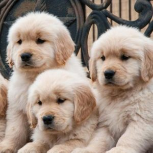 Golden Retriever Puppies Puppies For Sale Animal Kingdom Arizona