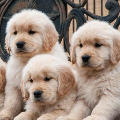 Golden Retriever Puppies Animal Kingdom Arizona