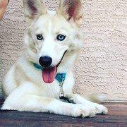 tan husky puppy