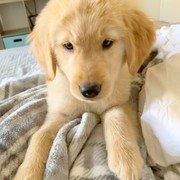 golden retriever puppy in blanket