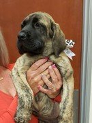 mastiff puppy held