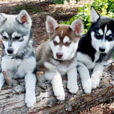 Klee Kai Puppies Animal Kingdom Arizona