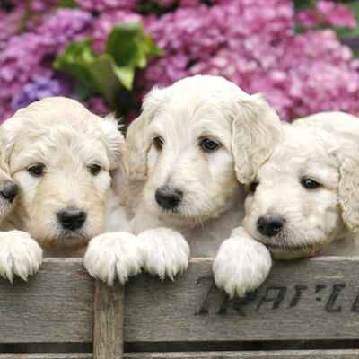 Labradoodle Puppies Animal Kingdom Arizona