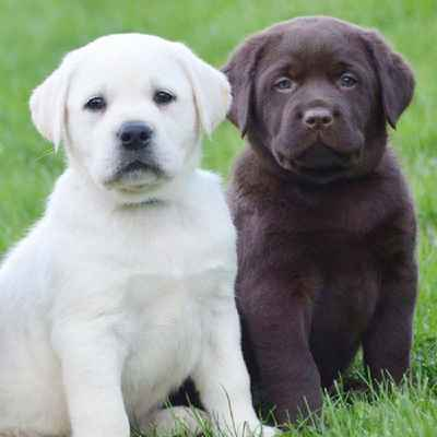 Labrador Retriever Puppies Animal Kingdom Arizona