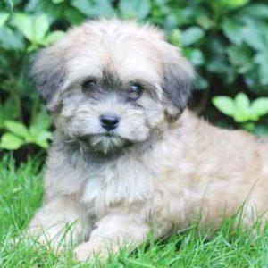 Lhasa-Poo Puppies For Sale Animal Kingdom Arizona
