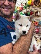 shiba inu puppy held by man