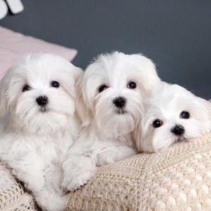 Maltese Puppies For Sale Animal Kingdom Arizona