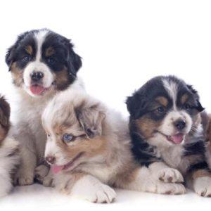 Miniature Australian Shepherd Puppies (Mini Aussie) Puppies For Sale Animal Kingdom Arizona