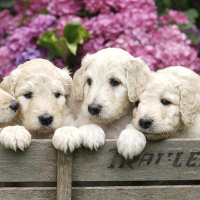 Mini Labradoodle Puppies Animal Kingdom Arizona