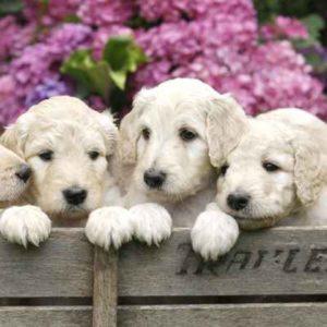 Mini Labradoodle Puppies For Sale Animal Kingdom Arizona
