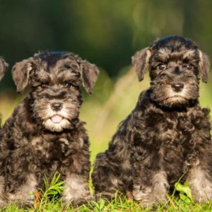 Miniature Schnauzer Puppies For Sale Animal Kingdom Arizona
