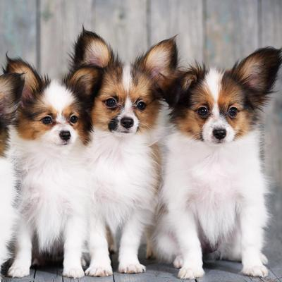 Papillon Puppies Animal Kingdom Arizona