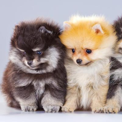 Pomeranian Puppies Animal Kingdom Arizona