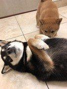 two shiba inu puppies