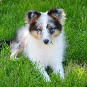 Shetland Sheepdog Puppies For Sale Animal Kingdom Arizona