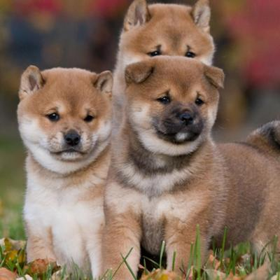 Shiba Inu Puppies Animal Kingdom Arizona