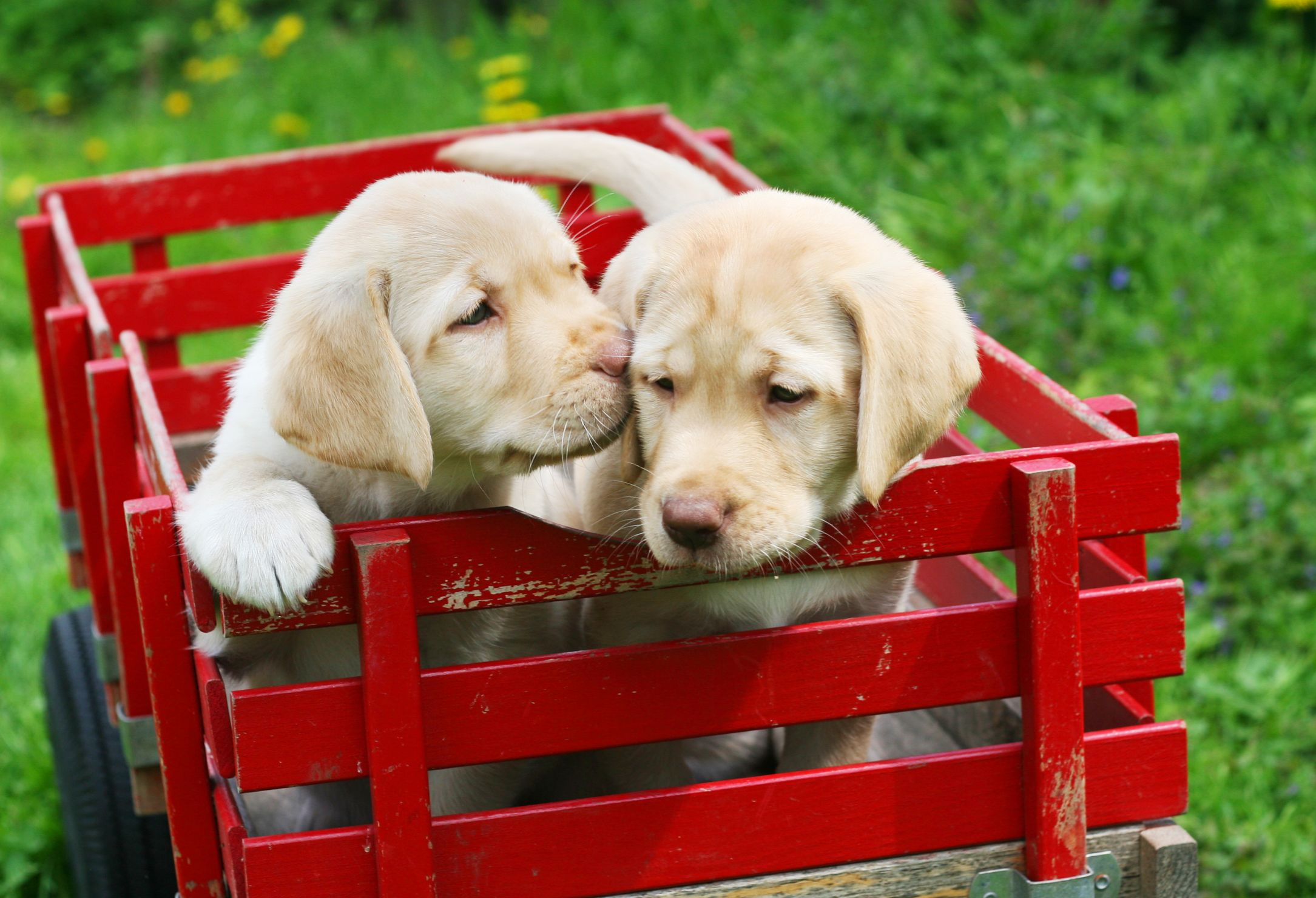 two yellow puppies in a red wagon