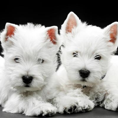 West Highland White Terrier (Westie) Puppies Animal Kingdom Arizona