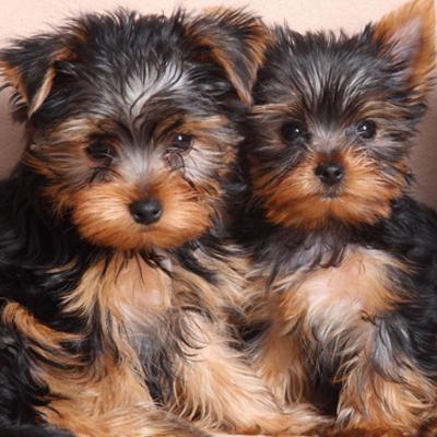 Yorkshire Terrier Puppies Animal Kingdom Arizona