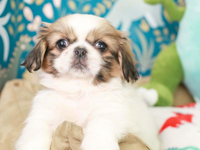 Pekingese-Female--3124525-Animal Kingdom | Puppies N Love