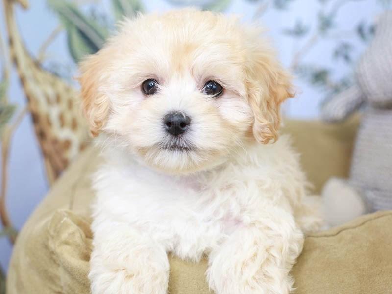Maltipoo-Female--3145385-Animal Kingdom | Puppies N Love
