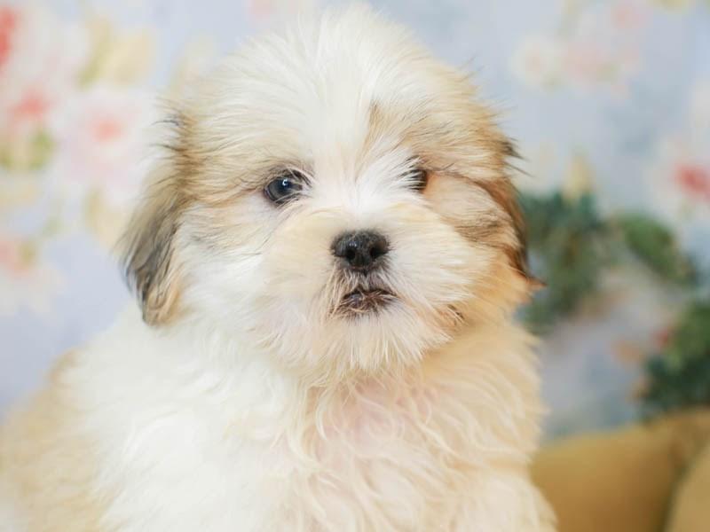 Lhasa Apso-Male-WHITE-3155579-Animal Kingdom | Puppies N Love