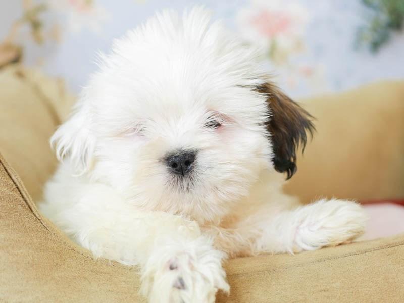 Lhasa Apso-Female--3155536-Animal Kingdom | Puppies N Love