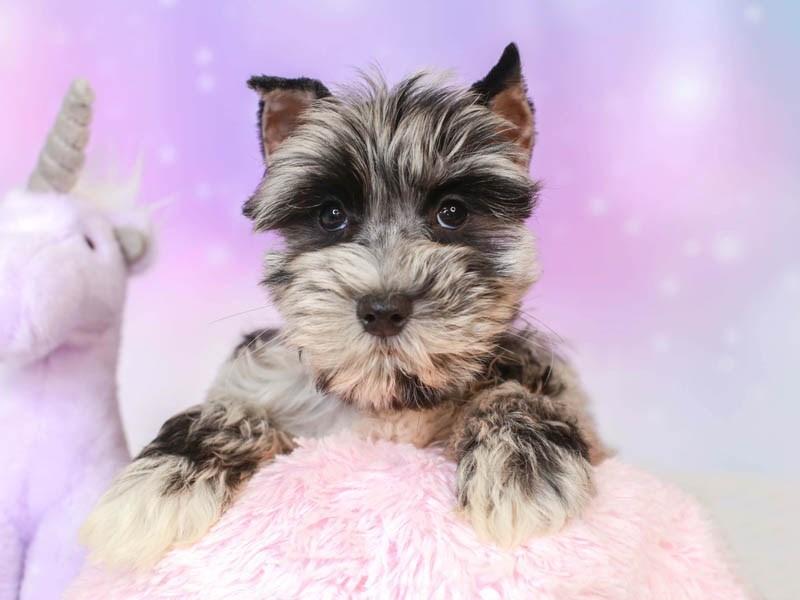 Confetti Schnauzer-Female--3164611-Animal Kingdom   Puppies N Love