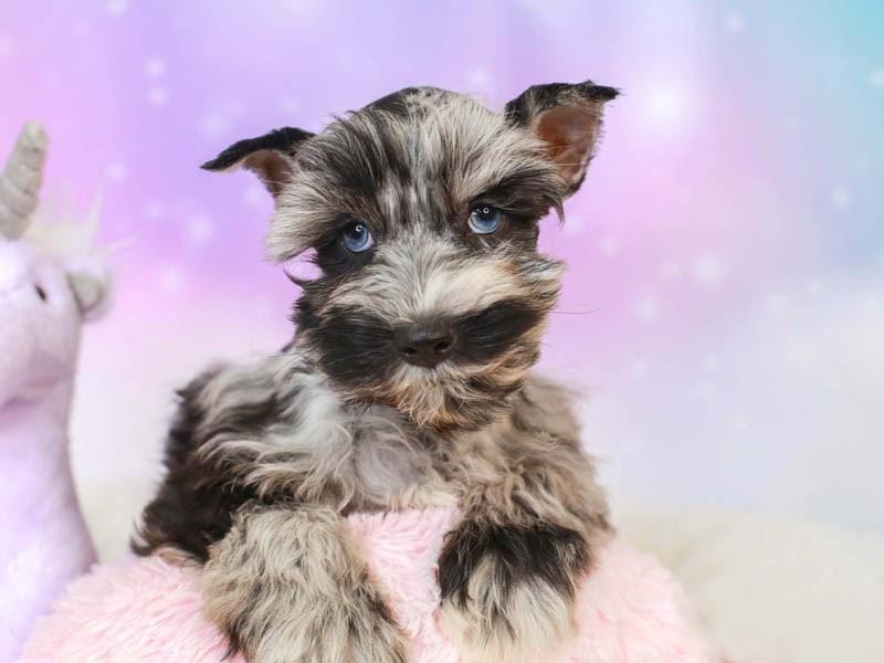 Confetti Schnauzer-Female--3164610-Animal Kingdom | Puppies N Love