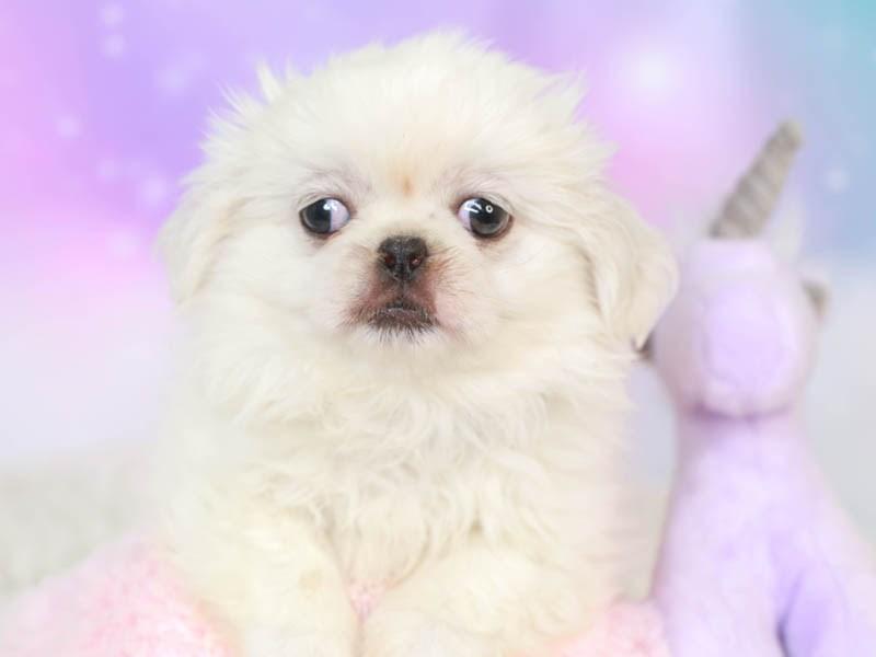 Pekingese-Male--3165362-Animal Kingdom   Puppies N Love
