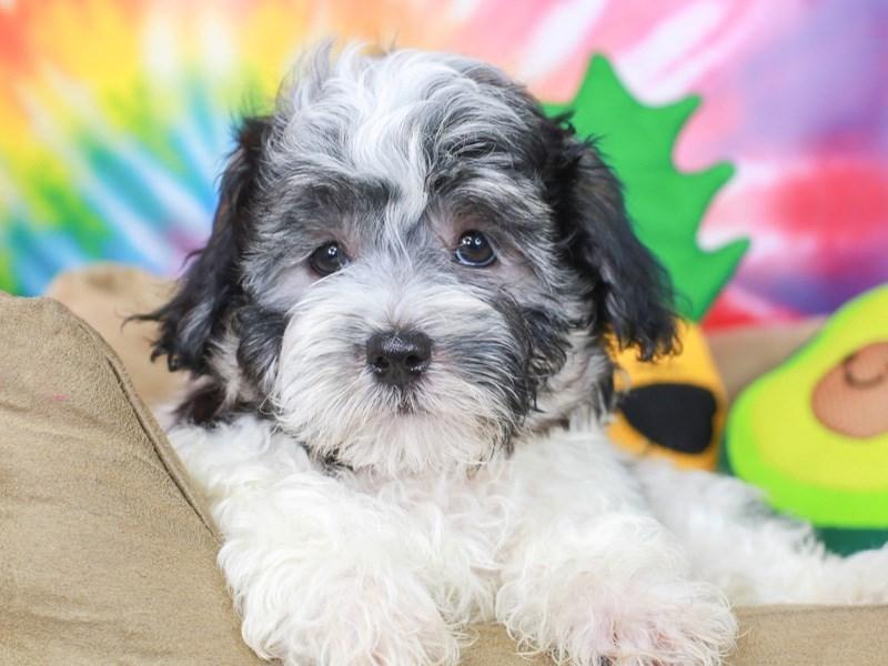 Peketese-Male--3192635-Animal Kingdom   Puppies N Love