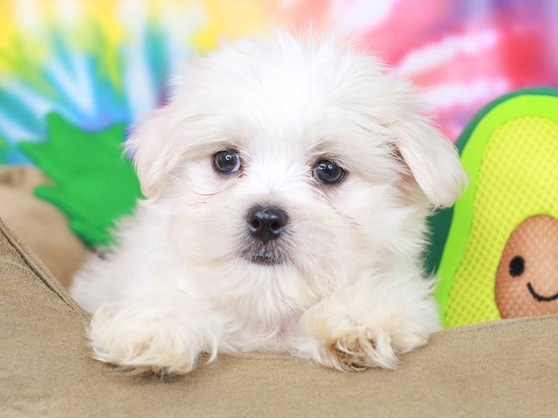 Peketese-Female--3192637-Animal Kingdom   Puppies N Love