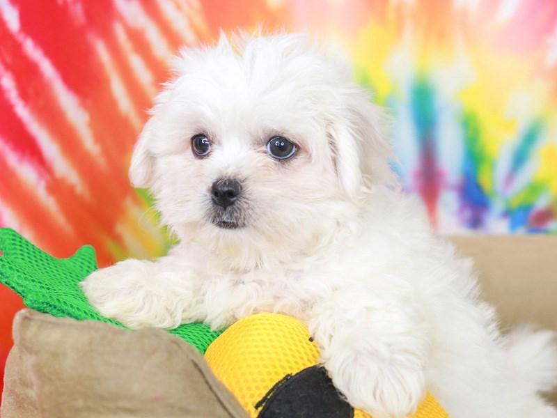 Peketese-Female--3192638-Animal Kingdom   Puppies N Love