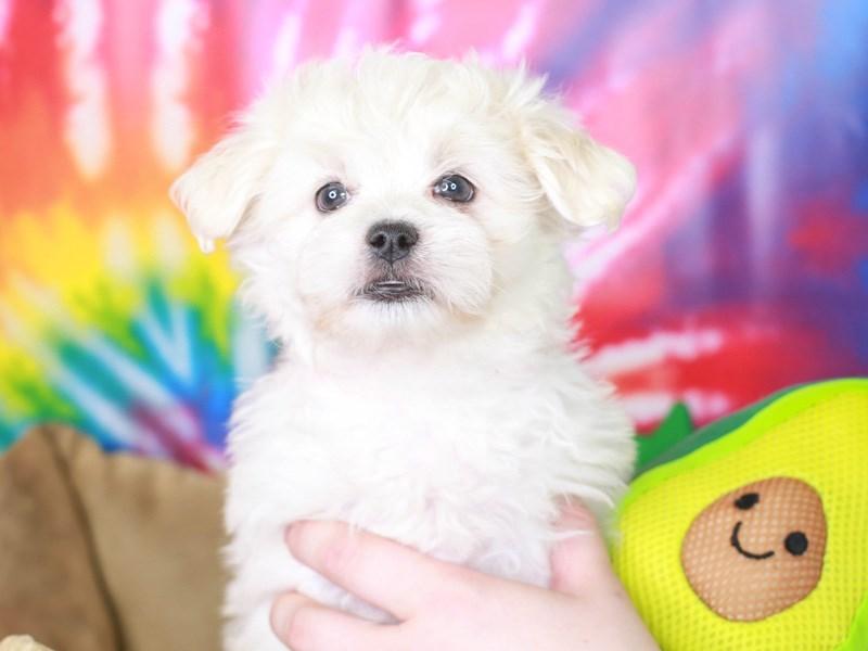 Peketese-Male--3192669-Animal Kingdom   Puppies N Love