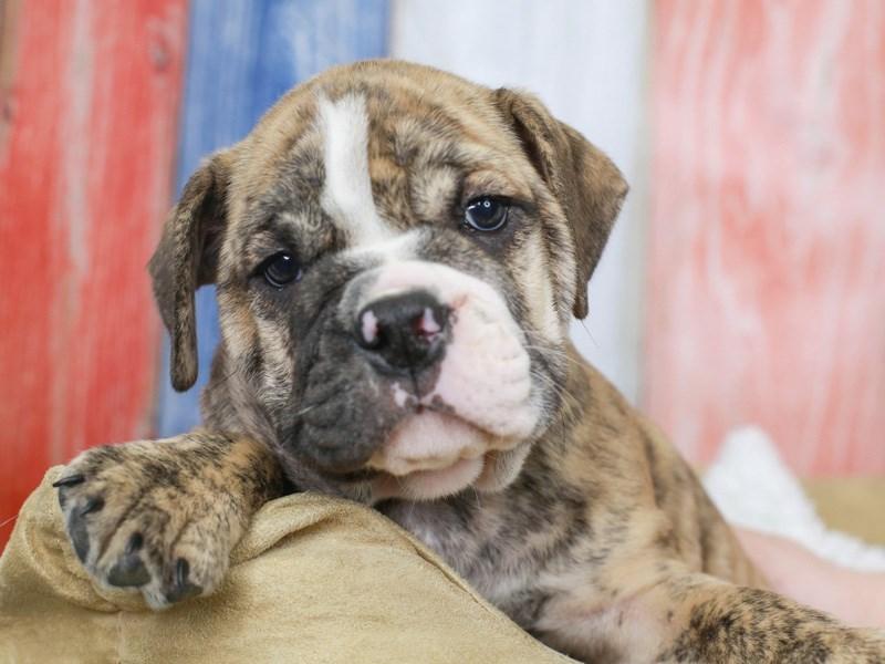 Beabull-Male-brindle/white-3201087-Animal Kingdom | Puppies N Love