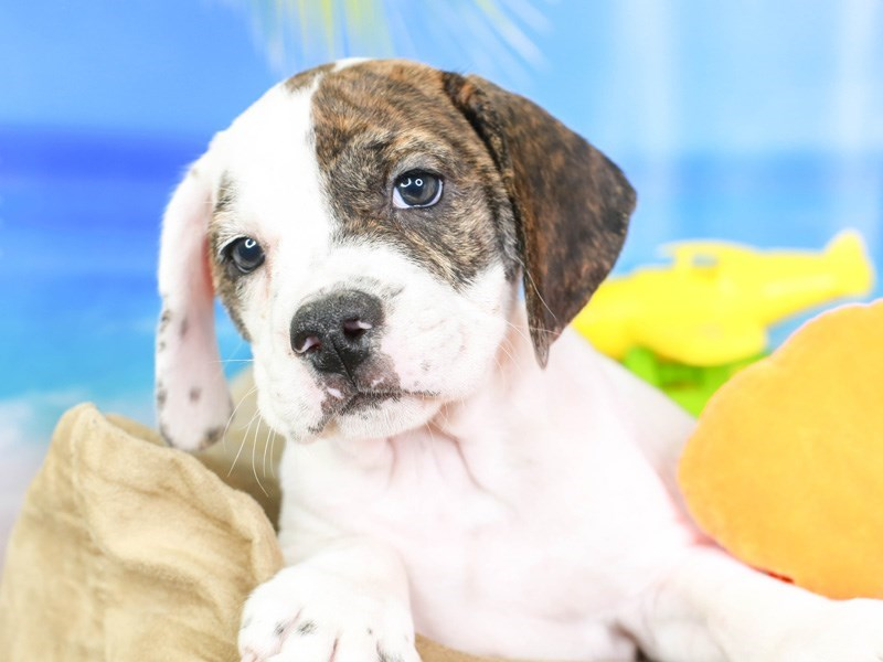 Beabull-Male-brndl/wh-3211086-Animal Kingdom | Puppies N Love