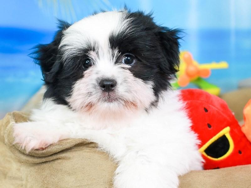 Shiranian-Male-black&white-3207022-Animal Kingdom | Puppies N Love