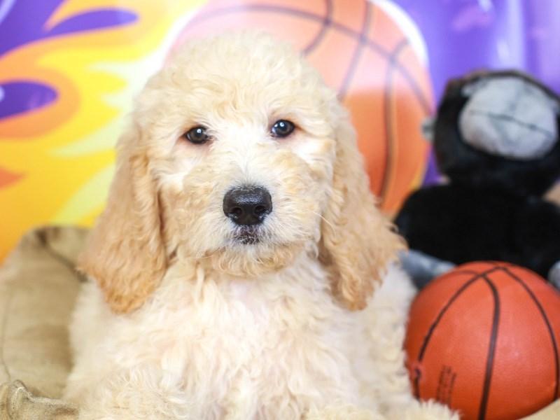 Goldendoodle-Male-apct-3221094-Animal Kingdom | Puppies N Love