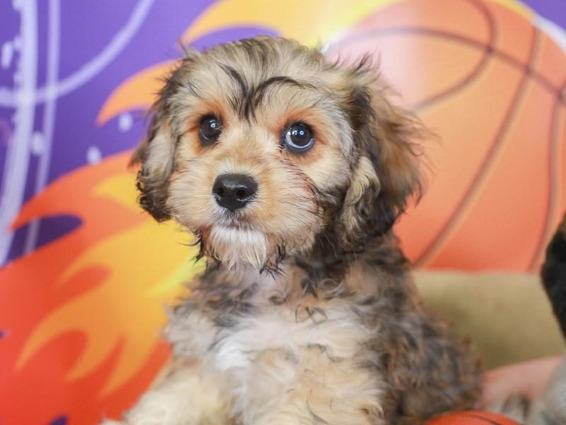 Cavachon-Male-tri-3221812-Animal Kingdom | Puppies N Love